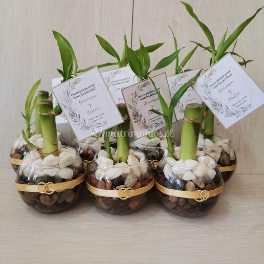 Lucky bamboo cinta y argollas