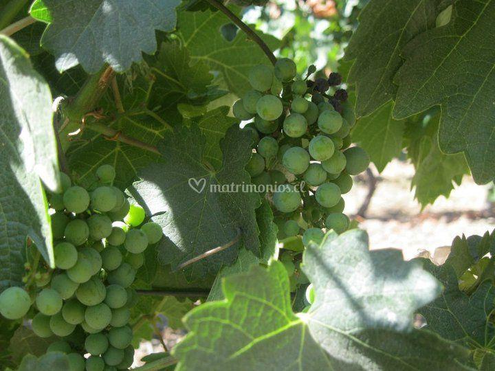 De las mejores uvas