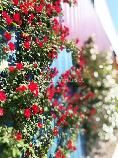 Rosas trepadoras exterior