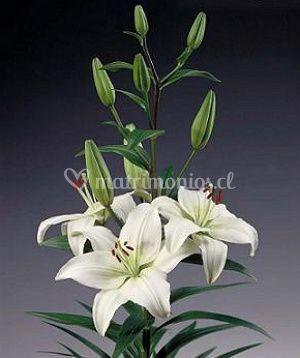 La elegancia del lilium blanco
