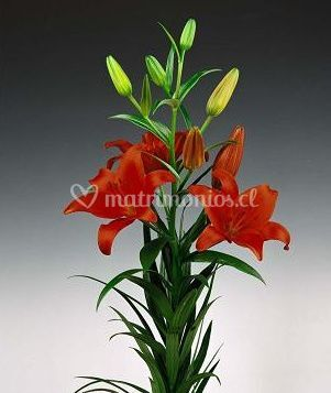 Lilium rojo muy apasionado