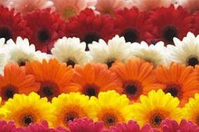 Flores Lilium