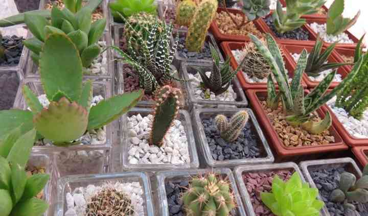 Cactus 1 y 2 años