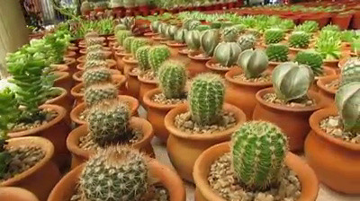 Cactus recuerdos matrimonio vivero nacimiento video for Vivero antofagasta