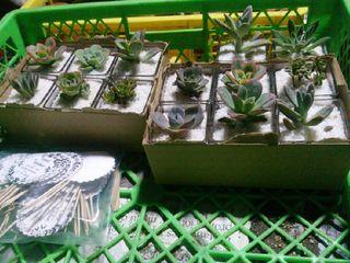 Cactus Tu Souvenir 5